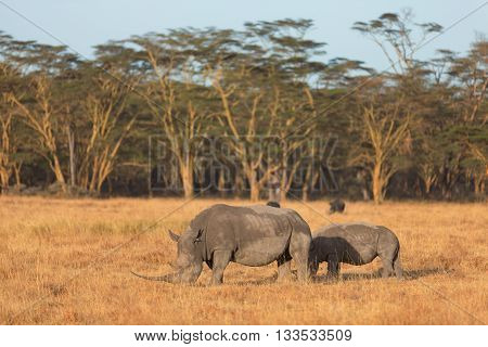 Two white rhino in Nakuru Park Kenya during the dry season