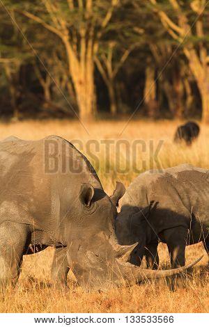 Two white rhinos in Nakuru Park Kenya during the dry season. Vertical shot.