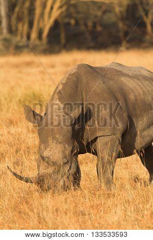 Portrait of white rhino in Nakuru Park Kenya during the dry season. Vertical shot.