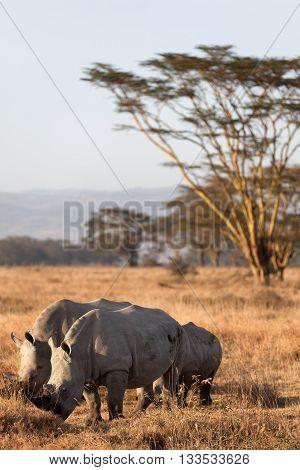 Group of white rhinos in Nakuru Park Kenya during the dry season. Vertical shot