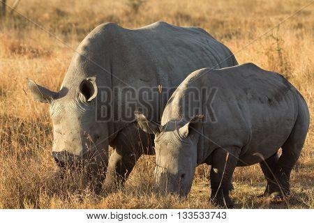 Portrait of two white rhinos in Nakuru Park Kenya during the dry season. Horizontal shot.