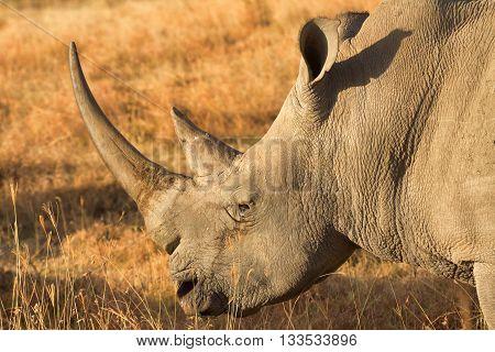Portrait of white rhino in Nakuru Park Kenya during the dry season. Shot at sunset