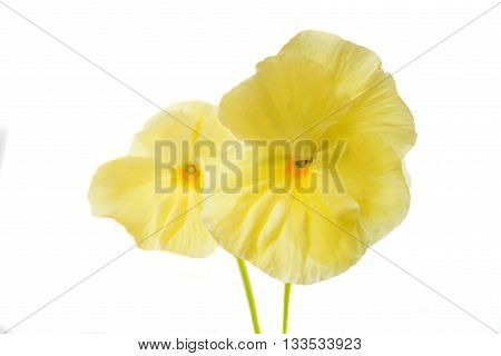decorative, color pansy isolated on white background