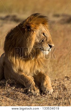 Male lion lying in the grass at sunset in Masai Mara Kenya. Shot at sunset. Vertical shot side view