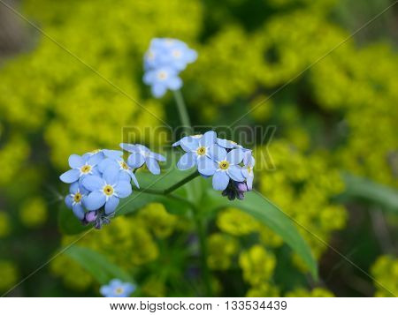 plant forgetmenot with flowers on green background