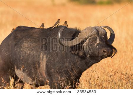 Male buffalo with oxpecker on its nose. Shot at sunset in Masai Mara Kenya. Side view