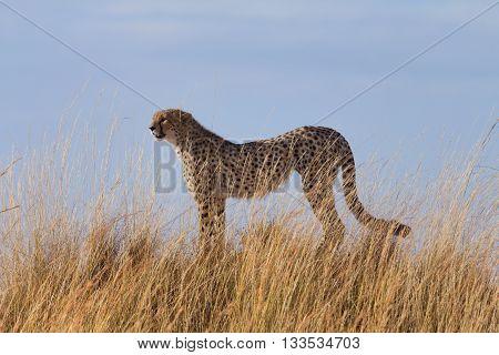 Male cheetah in high grass of Masai Mara Kenya.