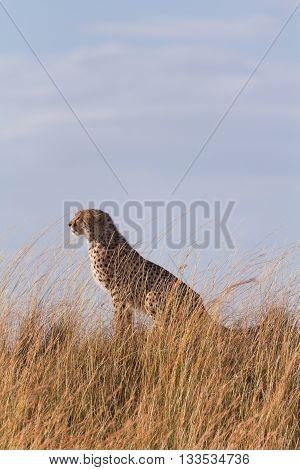 Male cheetah sitting in high grass of Masai Mara Kenya. Vertical shot
