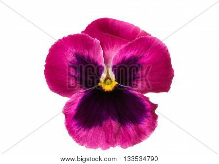 yellow, flower pansy isolated on white background