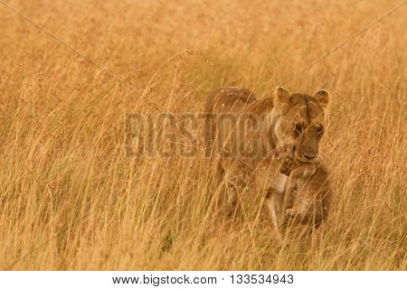 Female lion carrying a cub in Masai Mara Kenya