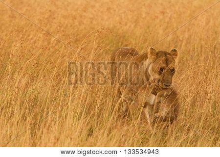 Female lion carrying a cub in Masai Mara Kenya