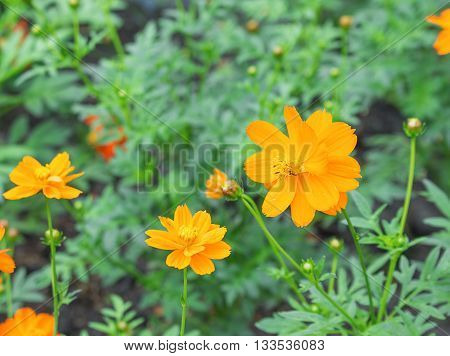 cosmos flower orange and have blurry background select focus front cosmos flower orange.
