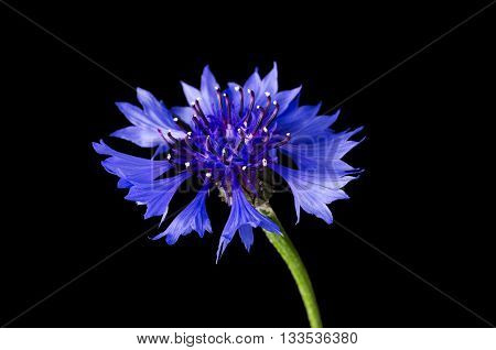 Cornflower on black background. Centaurea cyanus from the family Asteraceae, native in Europe. Macro photo.