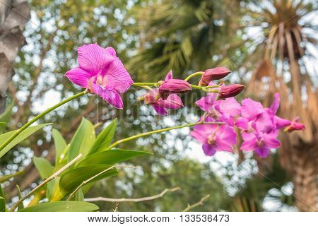 Beautiful purple orchid on green leaf and Flowers don't bloom Purple Denerobium Orchids. (select focus front flower purple orchid) Blur blurred background