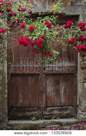 Red roses and old wooden door in Mombaldone in Piedmont Italy.