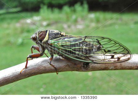 Cicada (Tibicen Bichamatus)