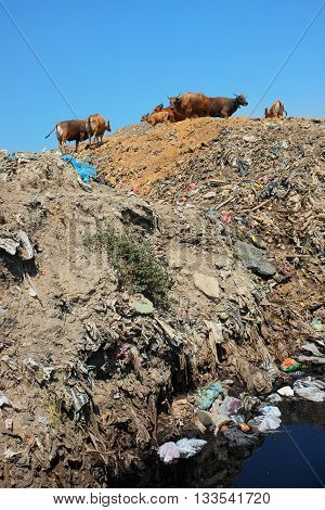As cows graze plastic bags household garbage and toxic industrial waste contaminates soil and water at Bali's largest and most polluted landfill site in Bali Indonesia.
