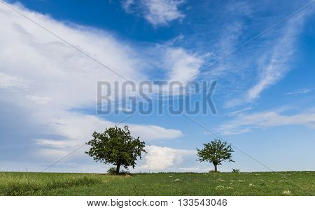 Two trees on a hill with grass in Piedmont in Italy with blue sky.