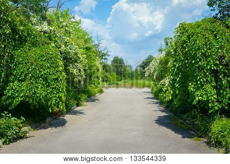 Alley in abandoned park with mulberry trees and blooming jasmine bushes on the sides, sunny summer day, cloudy sky