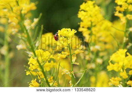 red ladybug feeding on yellow blooms of rapeseed