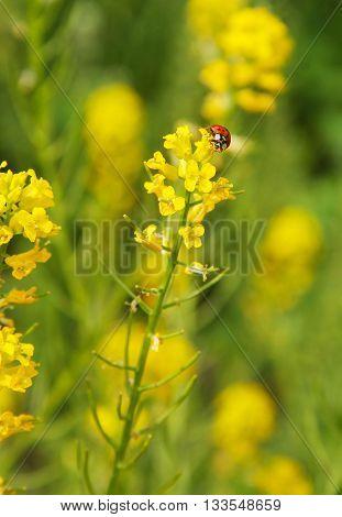 red ladybug feeding on yellow blooms of rapeseed