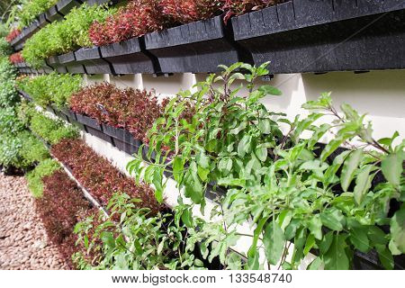vegetable garden,Garden beds with seedlings and young greens