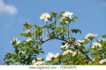 twig of eglantine with beautiful white blooms and blue sky