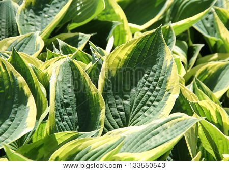 big green leaves of hosta with yellow margins