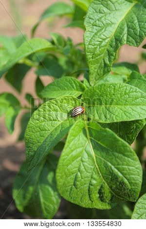 Colorado potato beetle on a green potato leaf