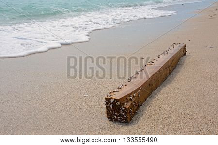 Wooden Beam with Baby Clams Attached Washed up on the Shore of South Beach in Florida