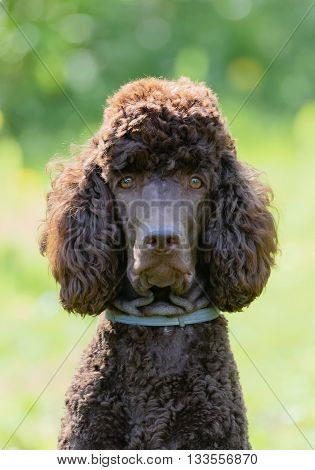 Poodle portrait in the summer with bright green background. Brown standard poodle sitting on the grass with smart look in its eyes.