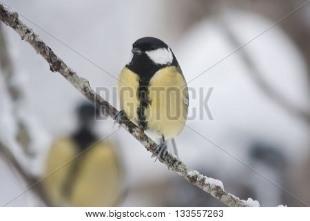 great tit on a twig in the winter