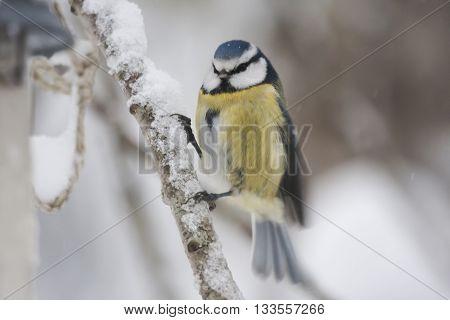 a small blue tit on a snowy twig