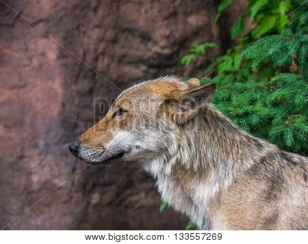 Portrait of a wolf guarding the territory of his flock
