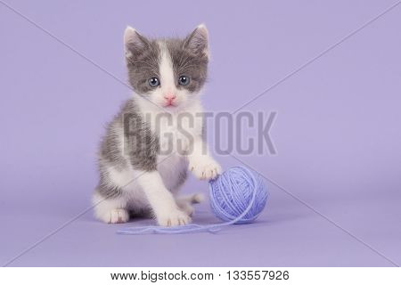 Cute grey and white baby cat kitten facing the camera on a purple lavendel background with its paw on a lavendel purple ball of wool