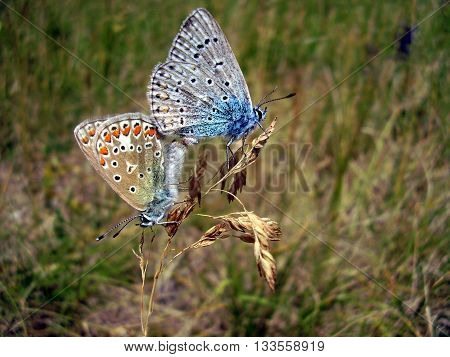 Common Blue Butterflies mating (Polyommatus icarus). Male is blue and female is brown