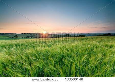 Cornish Barley Fields