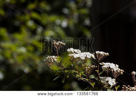 a cluster of spirea flowers on  shrub