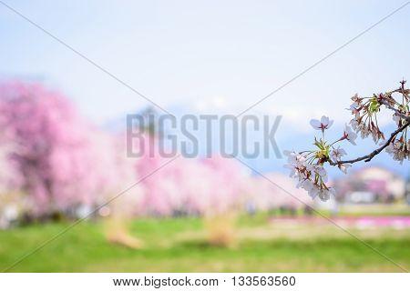 Cherry blossoms at Kitakata Fukushima in Japan