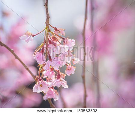 Pink Cherry blossoms at Kitakata Fukushima .
