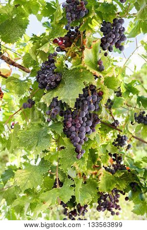 Bunches of red and purple grapes among green leaves on the vine.