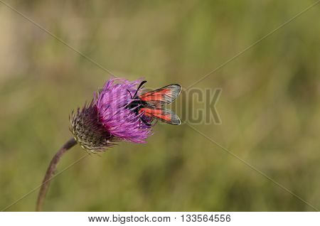 close up photo of a butterfly on purple bull thistle flower
