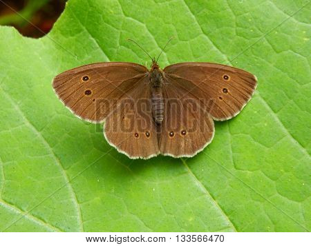 Close up of a Ringlet Butterfly (Aphantopus hyperantus)