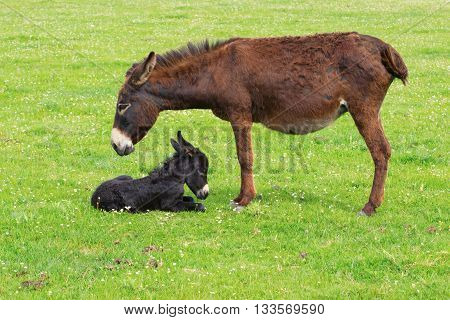 Mother and newborn baby donkeys on the floral meadow