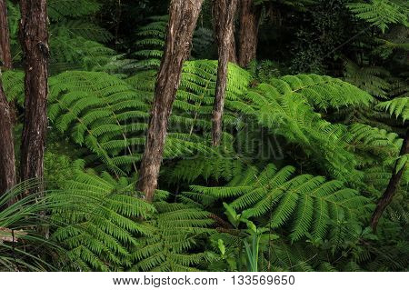 Green fern in a rainforest. Typical vegetation in New Zealand.