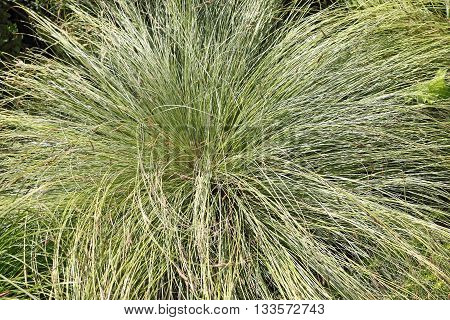 The mountain sedge Carex montana L. is native in Europe and East Asia