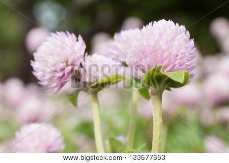 Globe amaranth or Gomphrena globosa in the garden