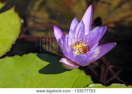Macro shot of a blooming tropical water lily (Nymphaea) with a bloom in magenta and yellow; selected focus narrow depth of field