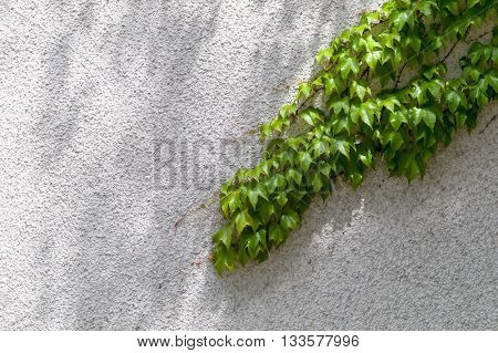 Ivy on a brick wall. symbolizing growth and strength