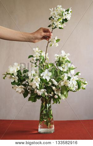 Female hand putting a blooming apple tree twig into a glass vase.